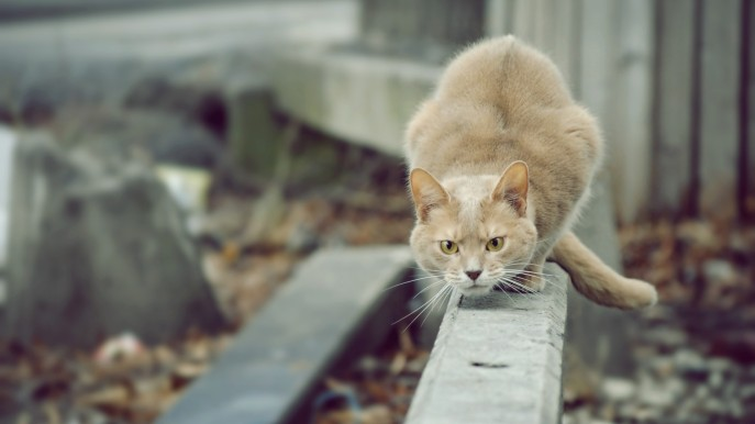 Cat-attention-willingness-jump-attack-1152x2048
